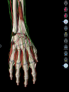 anatomy of hand and forearm